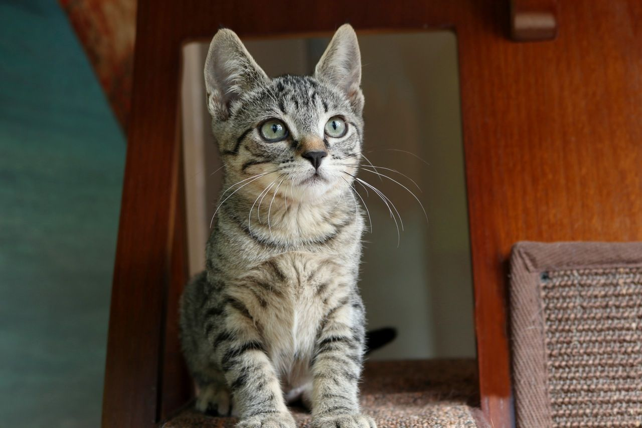 Rachel Grey Tabby Kittens Grey Kitten Kitten Adoption