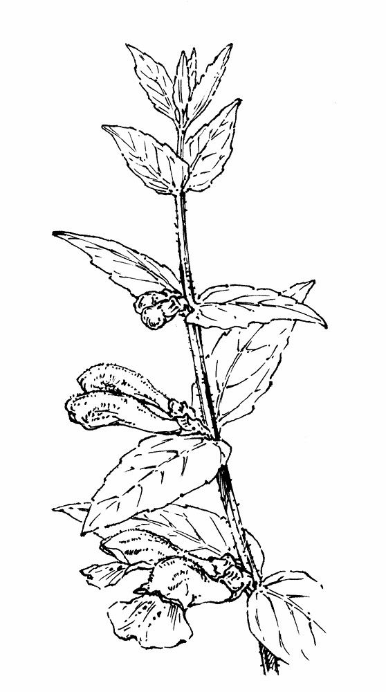 Image result for scutellaria lateriflora herb black and