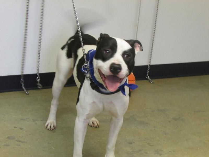 Adopt hank urgent on with images pet adoption