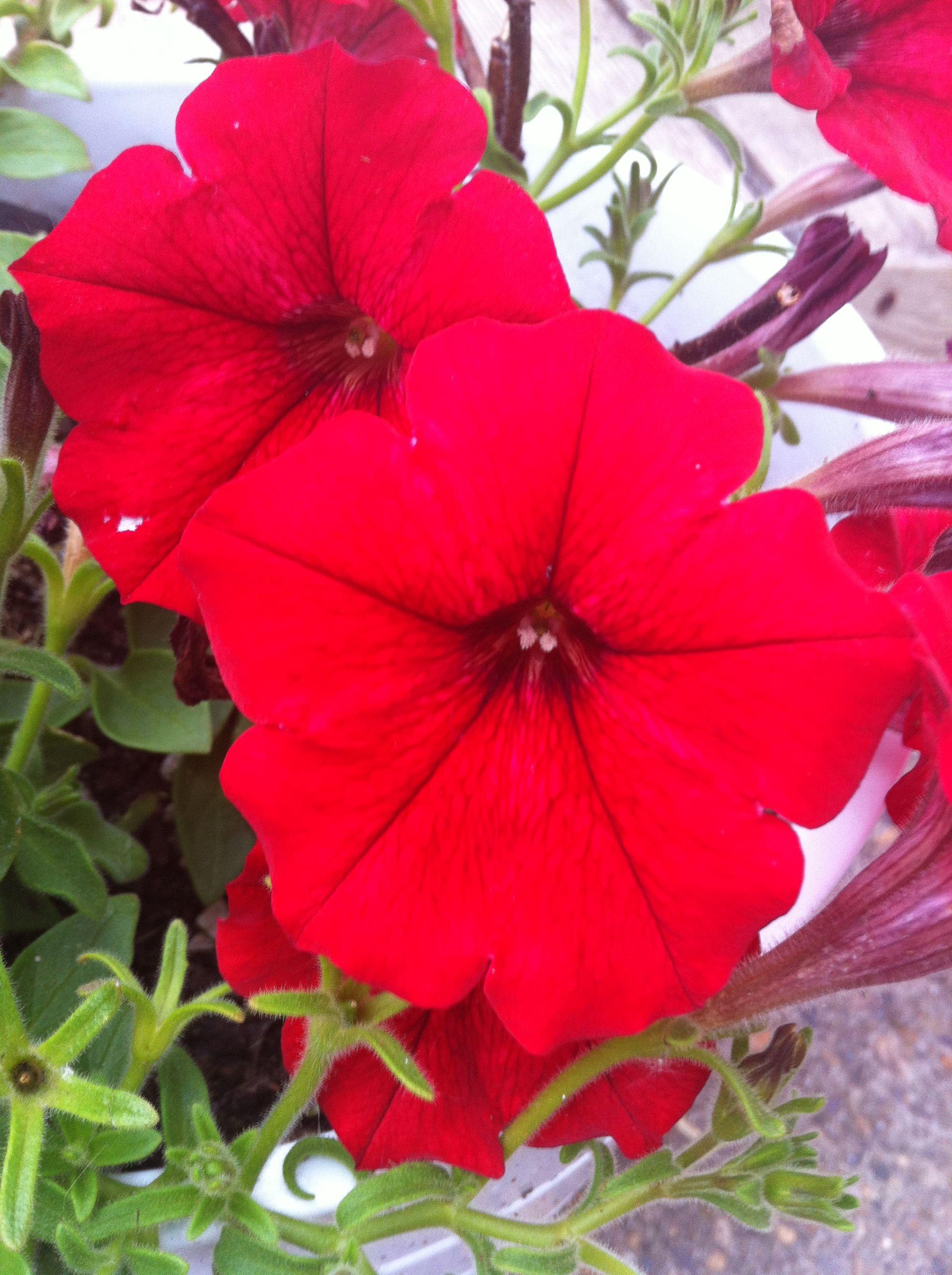 Red Petunia Stunning Petunias Petunias Plants Garden
