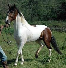 """cavalo manga larga marchador - Pesquisa Google  Obs de JuRicardo: Lindos animais!!! """"Como resultado desse cruzamento, surgiu um novo tipo de cavalo que acreditamos foi denominado Sublime pelo seu andar macio.""""http://pt.wikipedia.org/wiki/Mangalarga_mar"""
