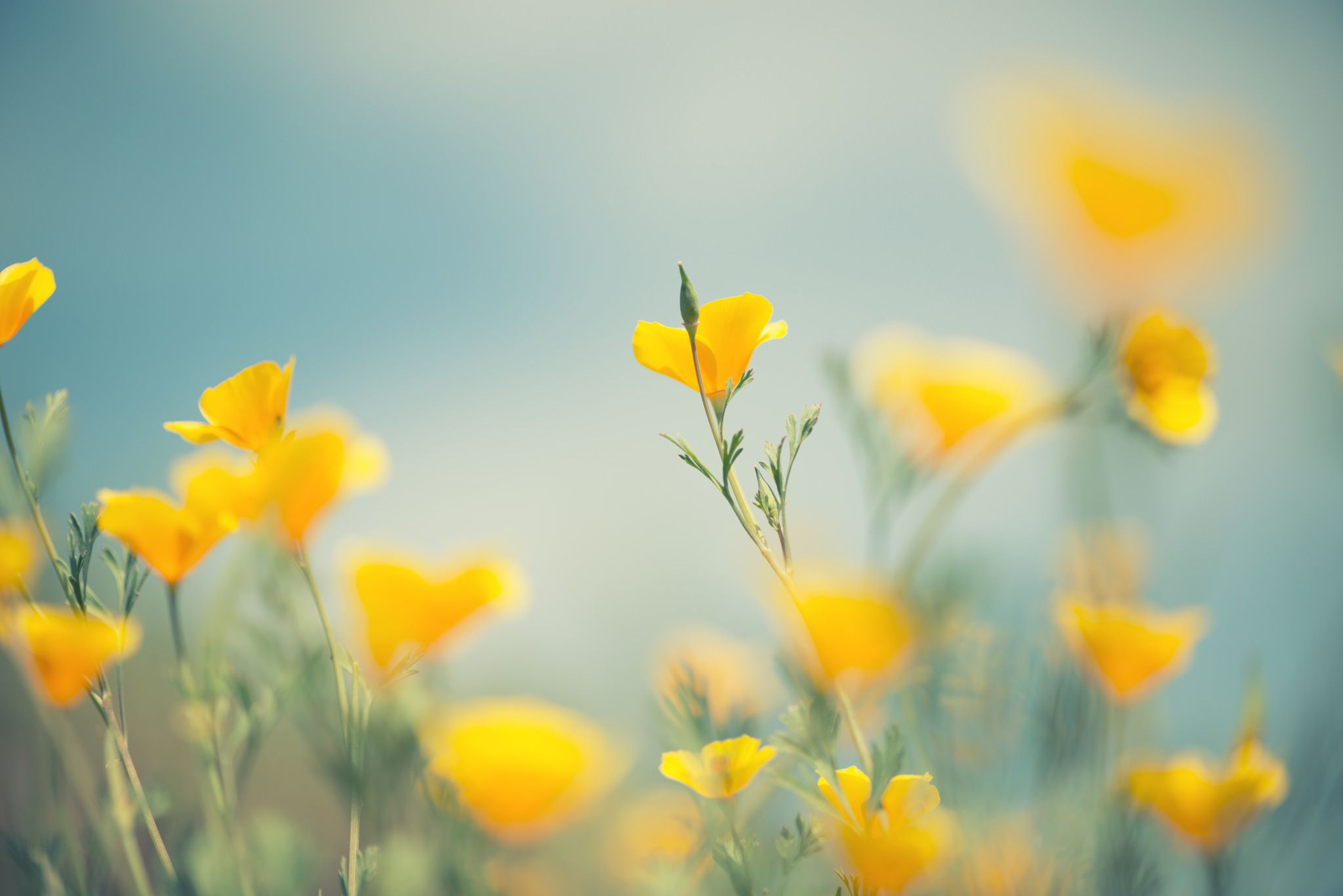 soft focus on buds yellow field flowers Yellow flower
