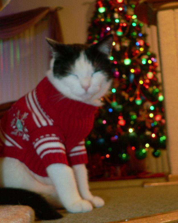 26 Pictures Of Cats & Dogs In Christmas Sweaters | Cat, Christmas ...