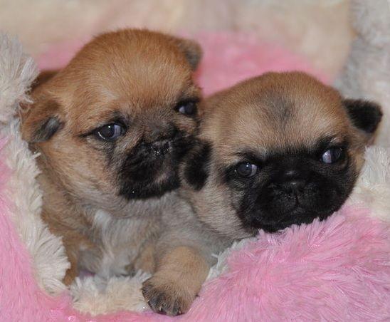 真っ黒くろすけ冒険記 Pug Mixed Breeds Dogs Dogs And Puppies