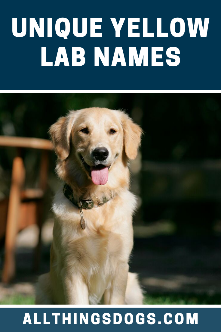 Unique Yellow Lab Names Yellow Lab Names Yellow Lab Puppies Best Dog Names