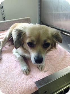 Waldorf Md Chihuahua Mix Meet Sheeba A Dog For Adoption W
