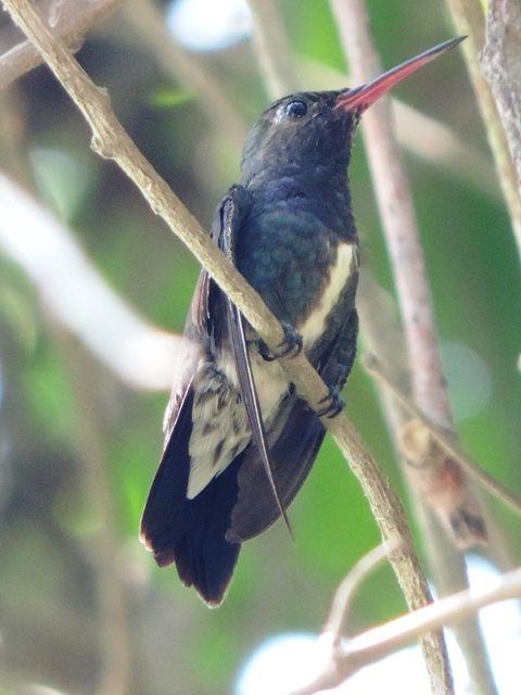 Foto beija-flor-de-peito-azul (Amazilia lactea) por Mauro F. Silva | Wiki Aves - A Enciclopédia das Aves do Brasil