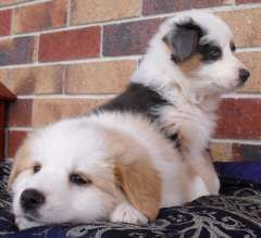 Border Collie Puppies Puppies For Sale Gold Coast Queensland