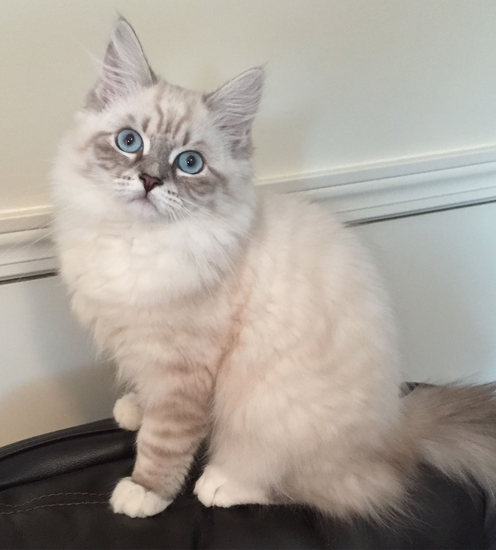 Saban Blue Lynx Point With White Siberian Kitten Cat Born 5 9 16 Ragdoll Cat Breeders Cats Cats And Kittens