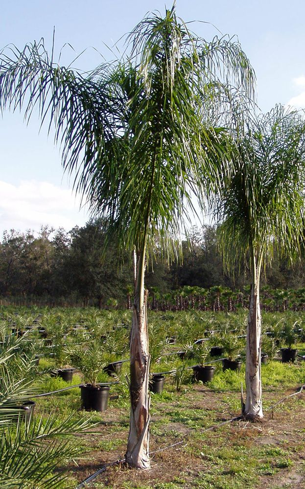 Queen Palm Tree Pictures Photos Of The Palms Palm Trees Landscaping Queen Palm Tree Palm Tree Pictures