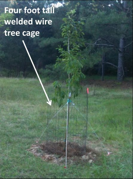 Protecting Young Trees From Deer Is An Important Step In