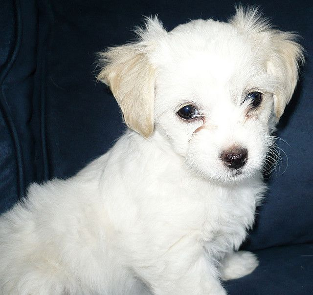 Another Malchipoo Maltese Chihuahua Poodle Mix A Sweetheart