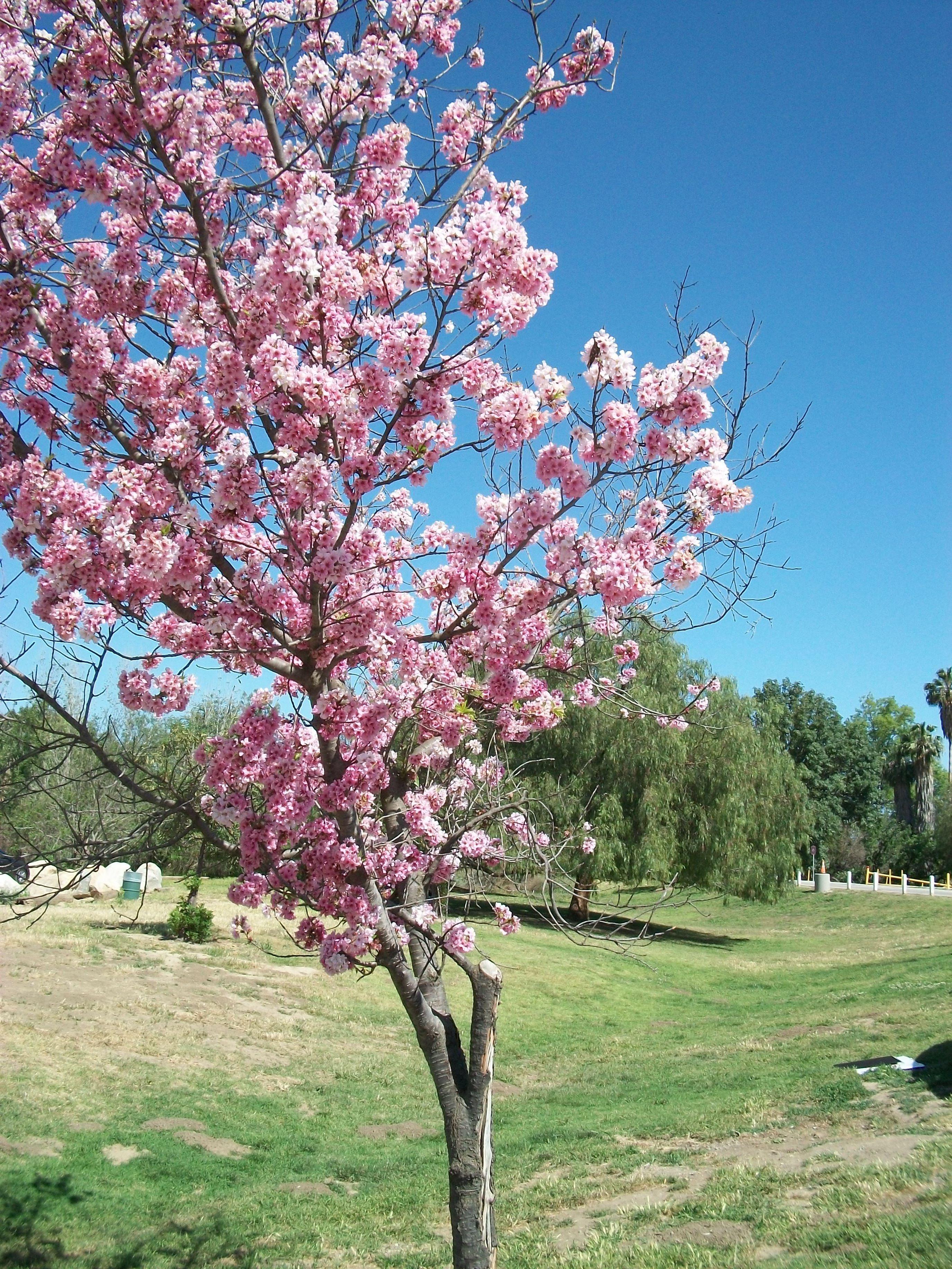 Cherry Blossoms Bloom On A Beautiful May Afternoon In 2018 At Lake Balboa Anthony C Beilenson Park In Southern California Lakebalboa Lake Balboa Balboa Lake