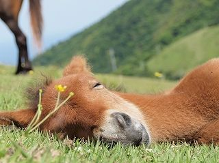 Misaki horse 御崎馬▶Misaki horse amongst of eight native Japanese horse breeds, is the only feral horse in this country.