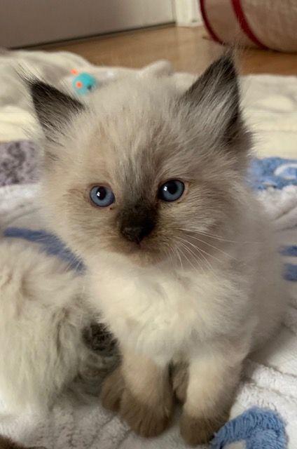 Milo Ragdoll Kitten Of The Month In 2020 Kociaki Zwierzeta Kotki