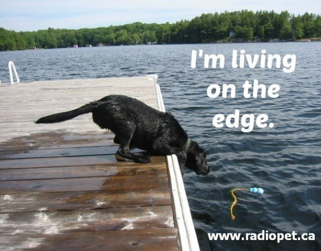 A lab living on the edge!  #qotd #dogs #labradors #bff #pets #family #cottage #weekend