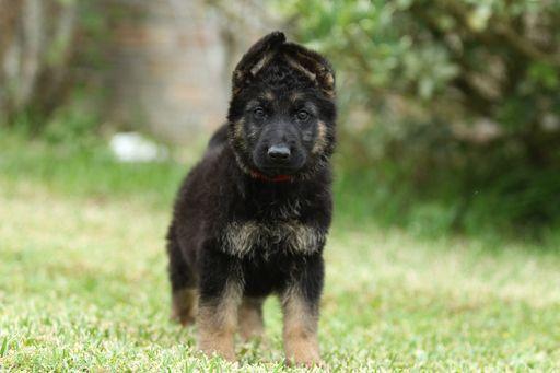 German Shepherd Dog Puppy For Sale In Duson La Adn 29042 On