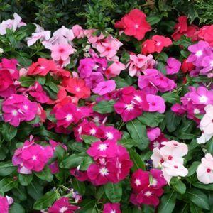 Vinca Seeds 45 Varieties Annual Flower Seeds Easiest Flowers To Grow Annual Flowers Flower Seeds