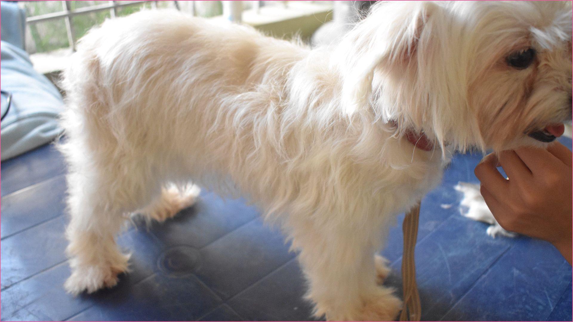 Coton De Tulear Haircuts Coton De Tulear Haircuts 27 Dog