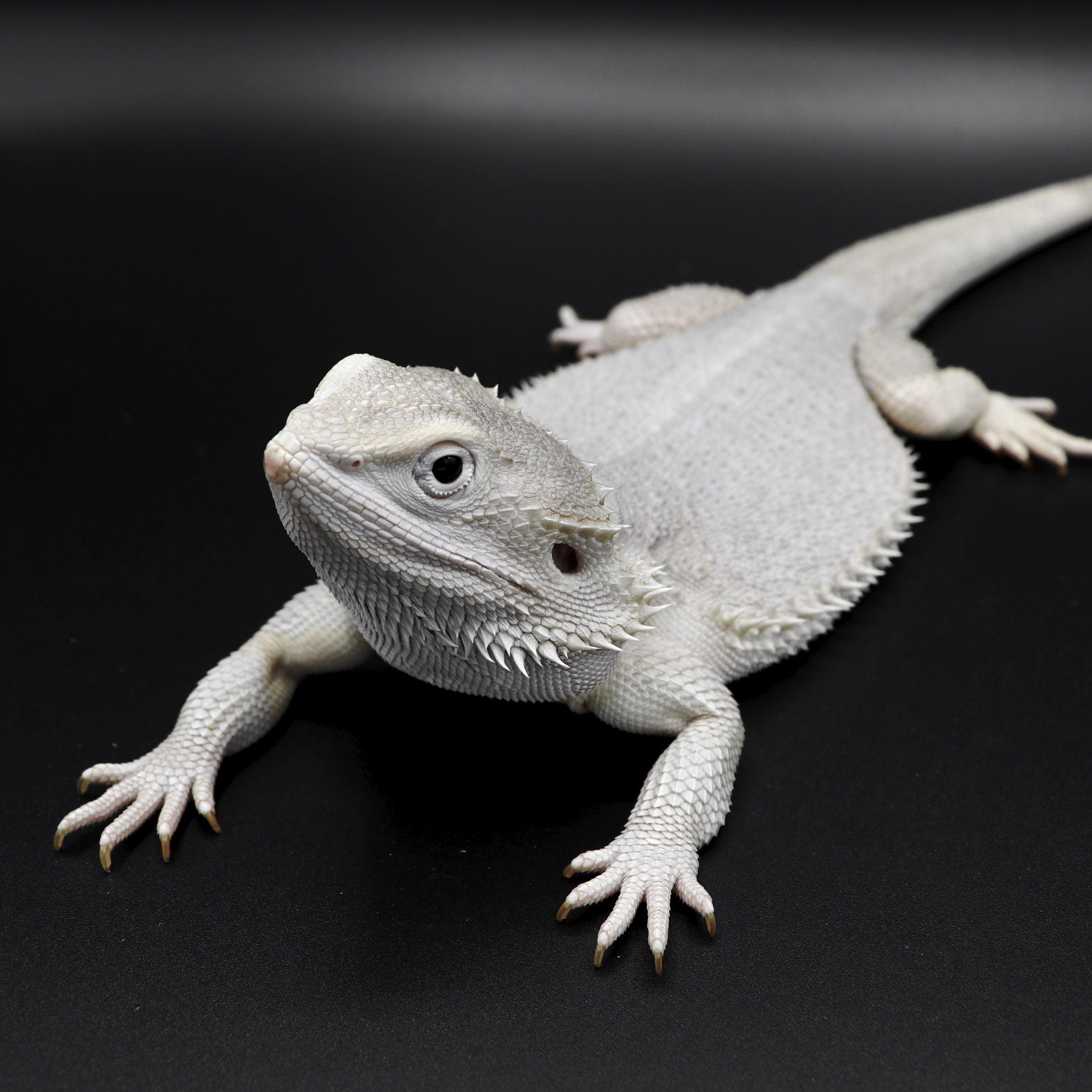Astro- Hypo Wero bearded dragon #beardedragon