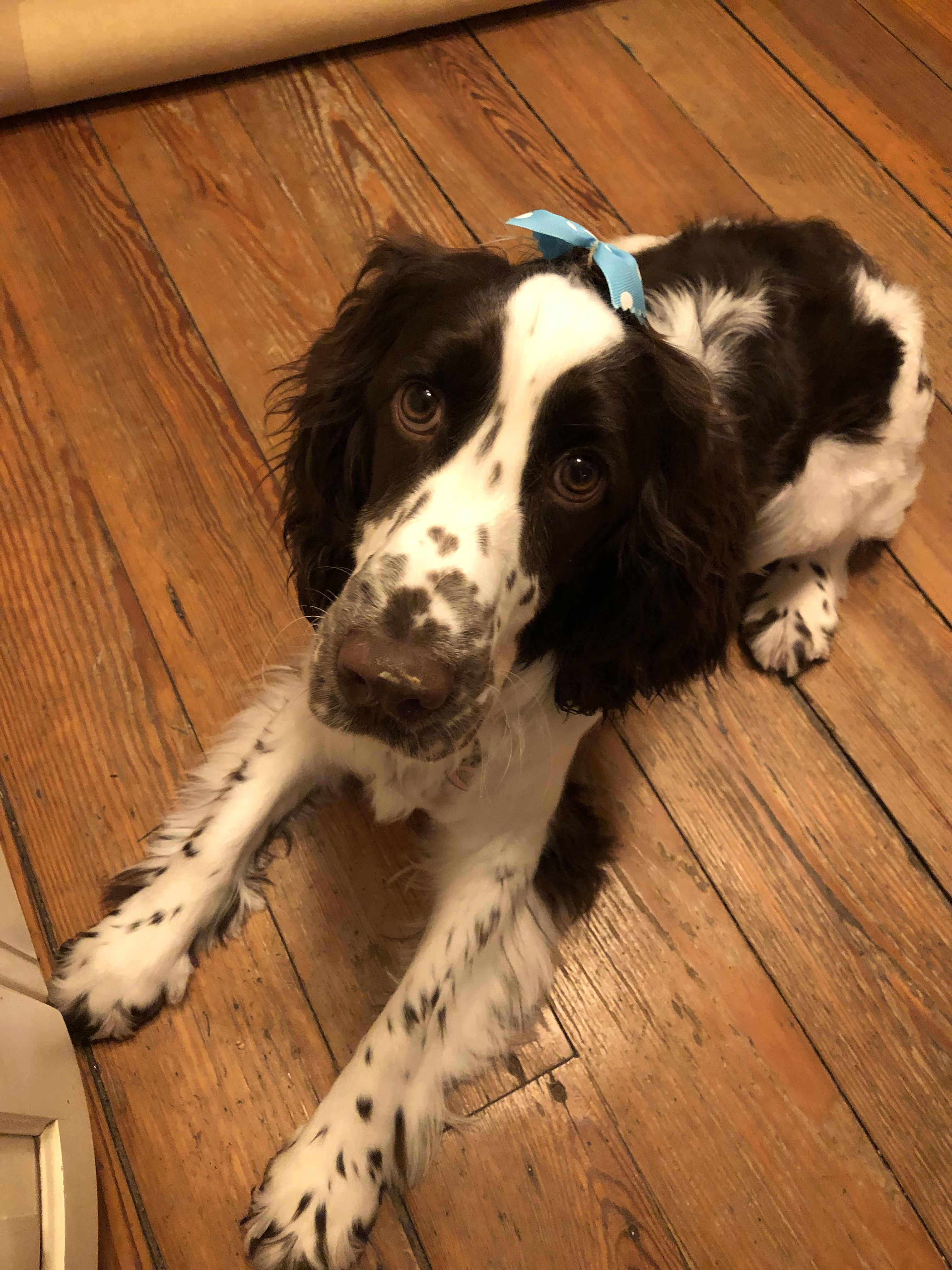Phoebe's phirst haircut Springer spaniel, Dogs and