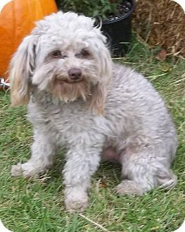 West Chicago Il Poodle Miniature Mix Meet Roby A Dog For