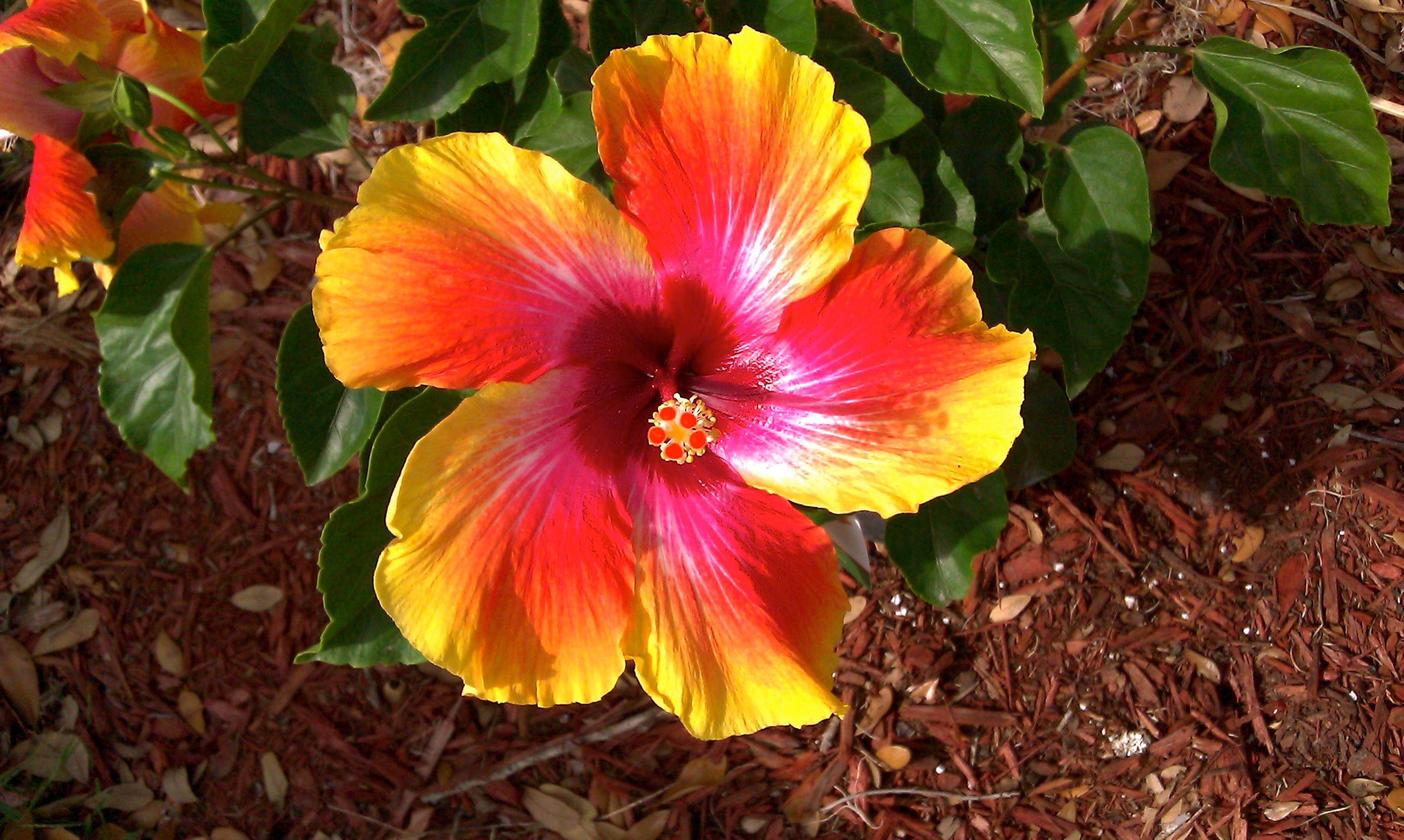 HibisKISS <3 Mixture of all the colors in one flower. | Just Stuff ...