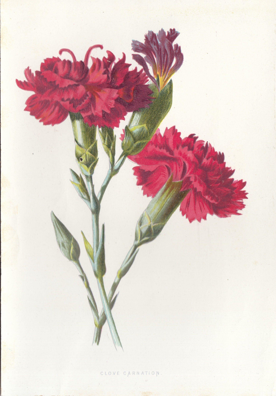 Carnation Flower Botanical Antique Lithograph Flower Art Print Etsy Flower Prints Art Carnation Flower Floral Botany
