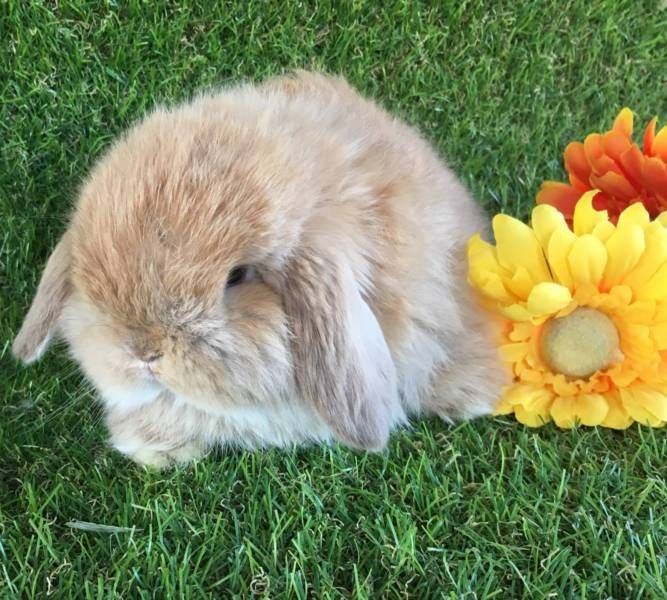 CHOC TORT LONG HAIR/CASHMERE MINI LOP READY NOW Rabbits