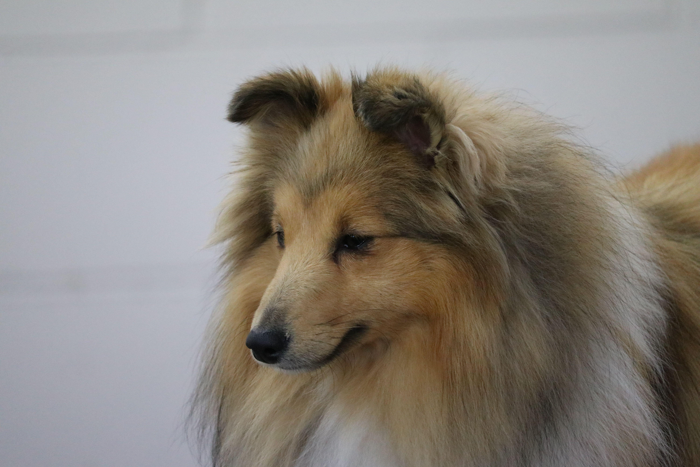 South Island Shetland Sheepdog Club Shetland Sheepdog Sheltie Dogs