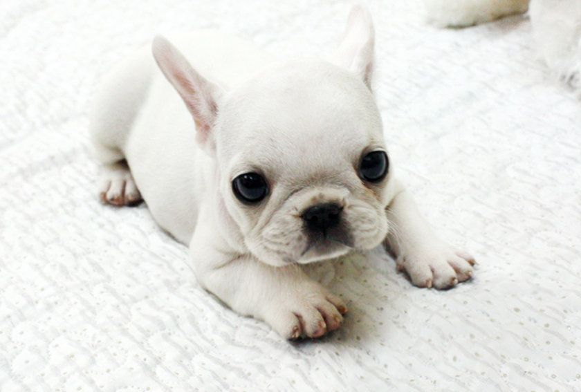 French Bulldog Puppies For Sale In Usa And Adopt Puppies Meander