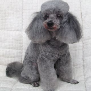 Silver toy poodle                                                                                                                                                                                 More