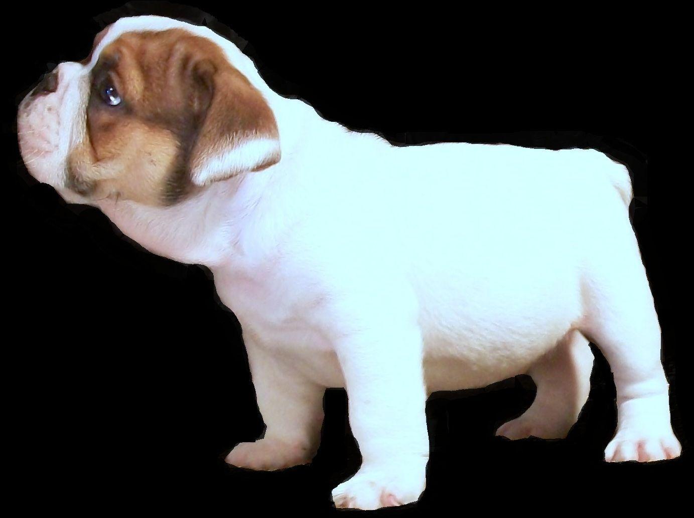 Available Bulldogs Ohio Rare Bulldog Breeder Black Black Tan Blue Chocolate Tri Colored Trindled Sab With Images Bulldog Puppies Bulldog English Bulldog Breeders