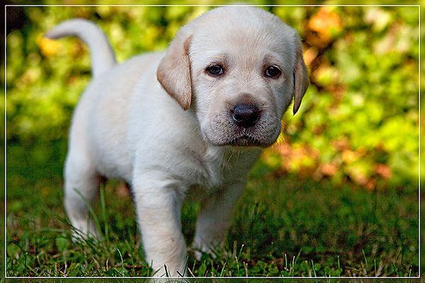Labrador Labrador Labrador Retriever Dogs