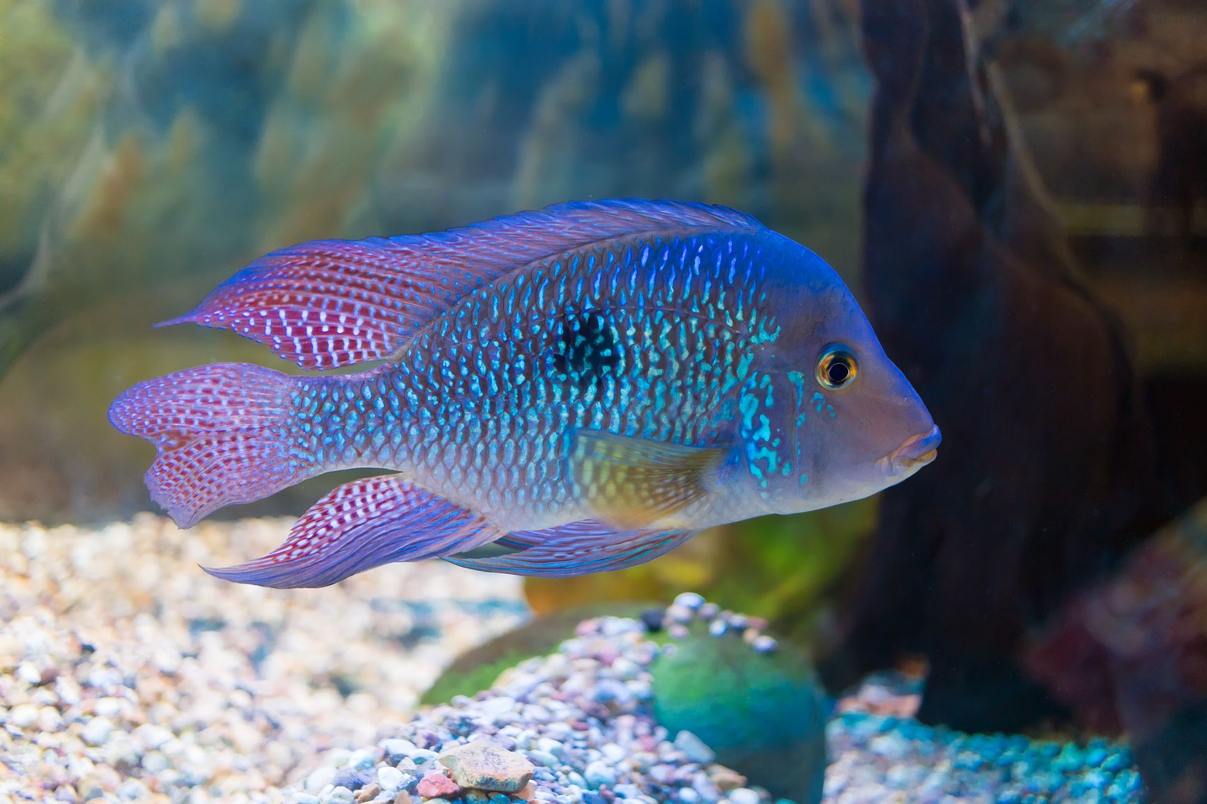 Cichlids Are Attractive Active Are Generally Quite