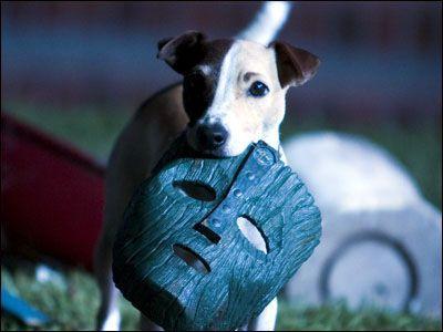 Maska film jack russel terrier