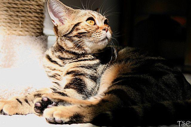 Sun Bather American Shorthair Cat Cat Pics Cat Love