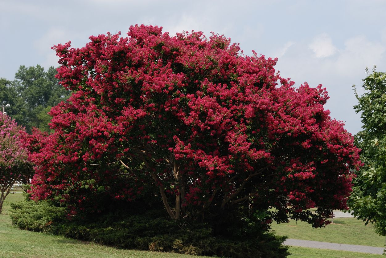 People Often Think Of Flowering Trees As Small Little Ornate Patio Type Trees When In Fact Some Fast Growing Trees Fast Growing Shade Trees Trees To Plant