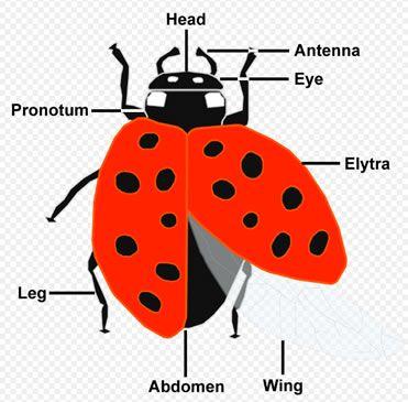 Ladybug Anatomy Article And Diagram Ladybug Lady Beetle Ladybug Life Cycle