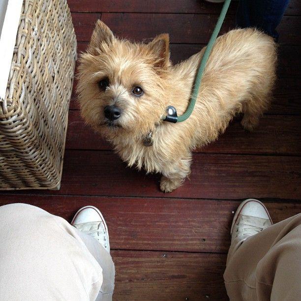 Simple Cairn Terrier Ball Adorable Dog - db5a918dac55ced4117c48baa8c613e8  Graphic_383466  .jpg