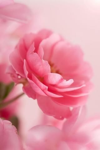 Via Janicejoostemaa Roses Love Pink Roses Background Pink