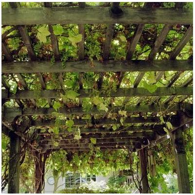 Concord Grapes In Landscape Design
