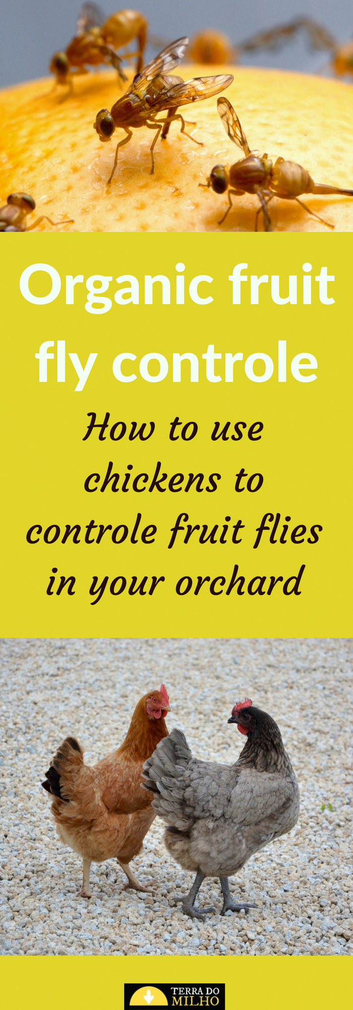Organic fruit fly pest controle. How to use chickens to controle Mediterranean fruit flies (medfly) in your Orchard. fruit fly pest controle. How to use chickens to controle Mediterranean fruit flies (medfly) in your Orchard.