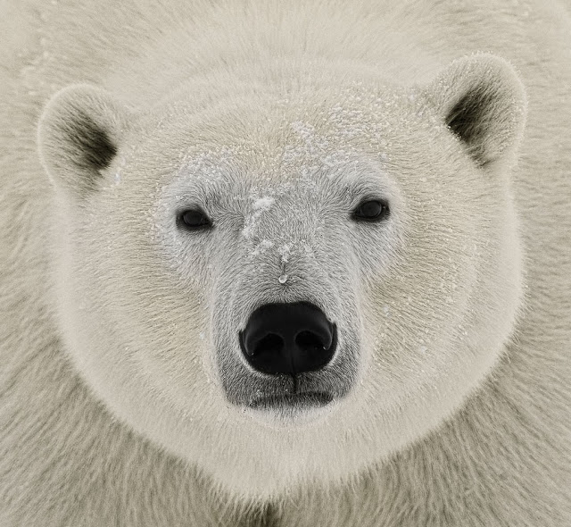 Wild Thing Polar Bear Face Polar Bear Bear