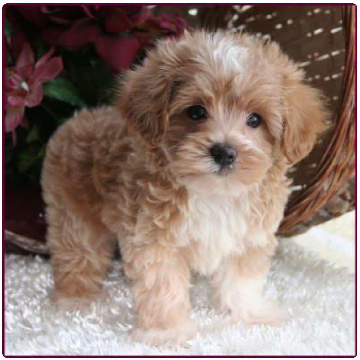 Maltipoo ) Maltese poodle puppies, Puppies, Maltipoo puppy
