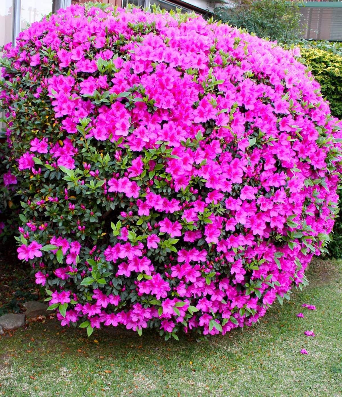 Azaleas a pleno cuidados y reproducci n jardiner a - Cuidado de azaleas en interior ...