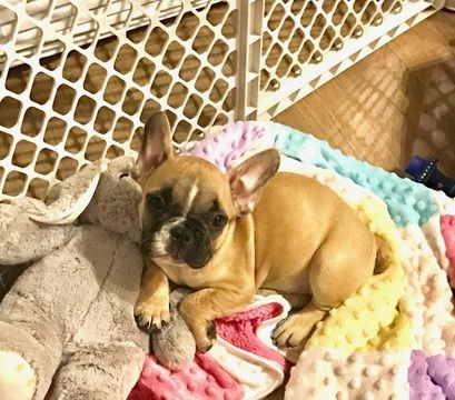 French Bulldog Puppy For Sale In Menomonee Falls Wi Adn 30655 On