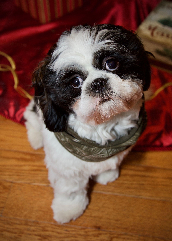 I Love My Black And White Shih Tzu Shihtzu Shih Tzu Dog Shitzu Dogs Cute Dogs