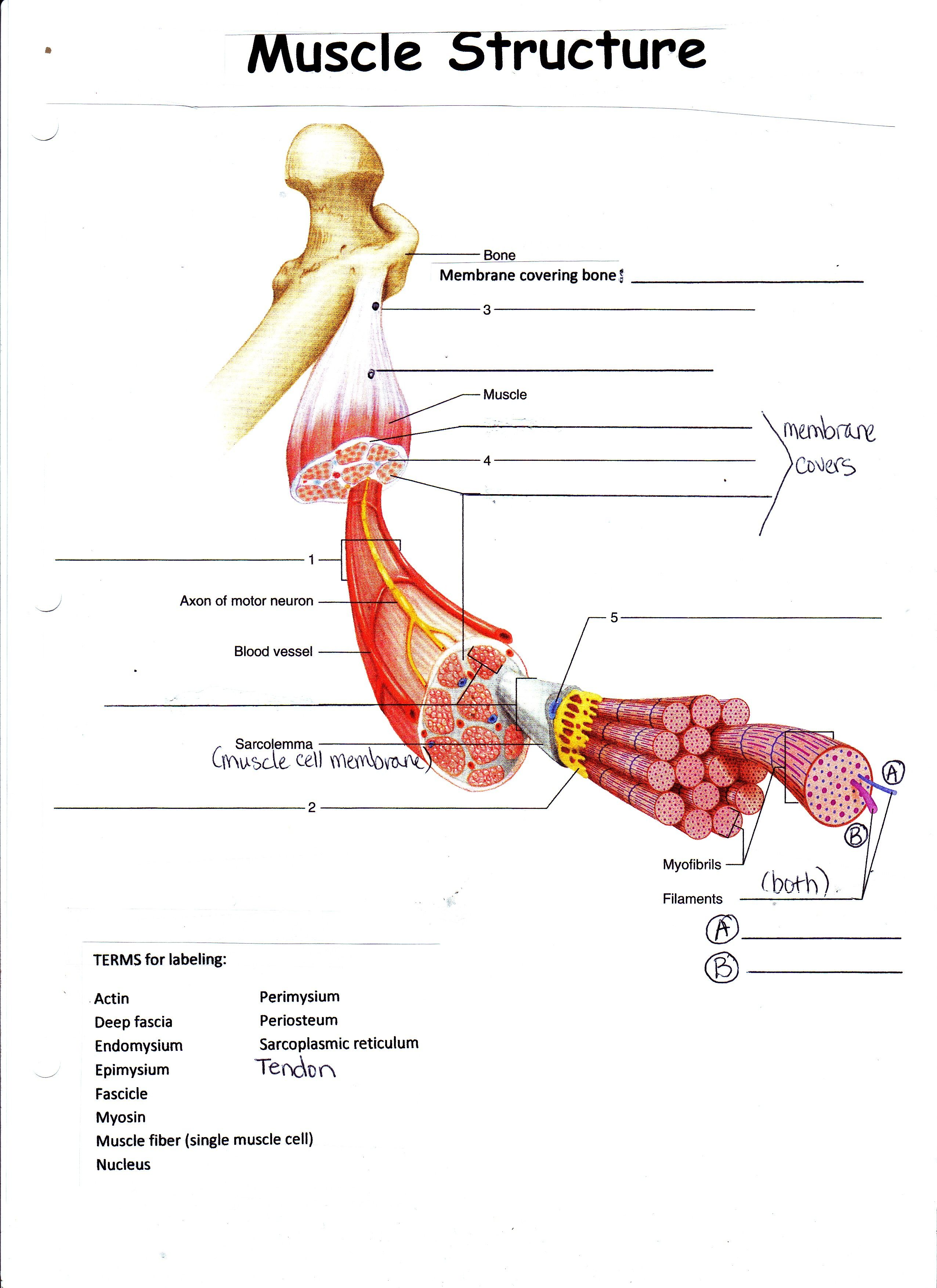 small resolution of Image result for bones and muscle worksheet for grade 2   Muscle diagram