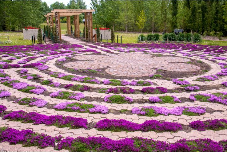To establish the wild thyme in the Labyrinth, 700 plugs were planted on greenhouse garden designs, stage garden designs, 6 path labyrinth designs, simple garden designs, christian prayer labyrinth designs, walking labyrinth designs, heart labyrinth designs, new mexico garden designs, water garden designs, informal herb garden designs, dog park designs, finger labyrinth designs, indoor labyrinth designs, school garden designs, rectangular prayer labyrinth designs, shade garden designs, labyrinth backyard designs, knockout rose garden designs, meditation garden designs, spiral designs,